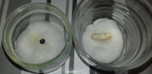 Mise en germination de graines en 6ème